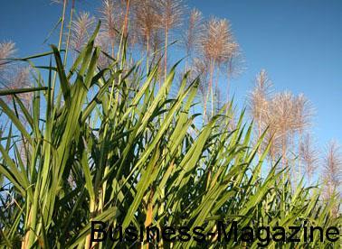 Sucre : une production de 415 000 tonnes attendue | business-magazine.mu
